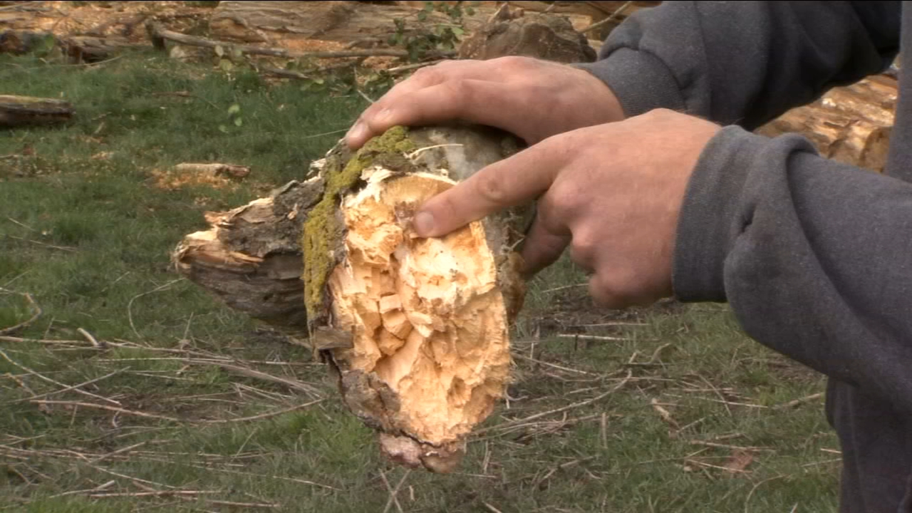 A certified arborist gives tips on identifying dying/ decaying trees that could topple during the upcoming storm.