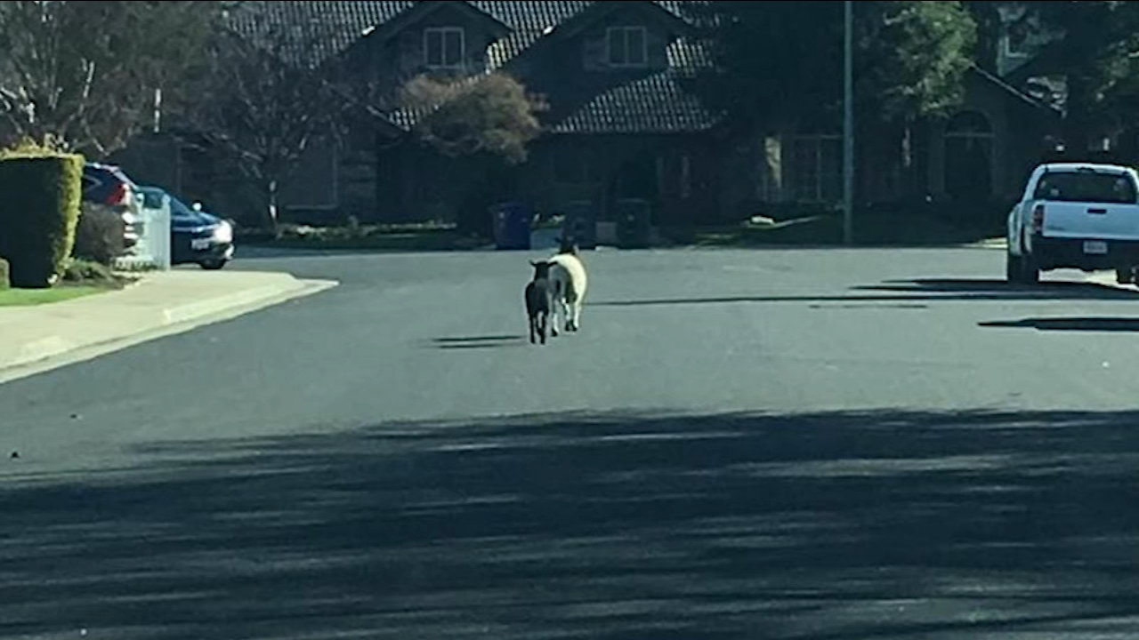 Clovis police looking for owners of missing sheep and lamb
