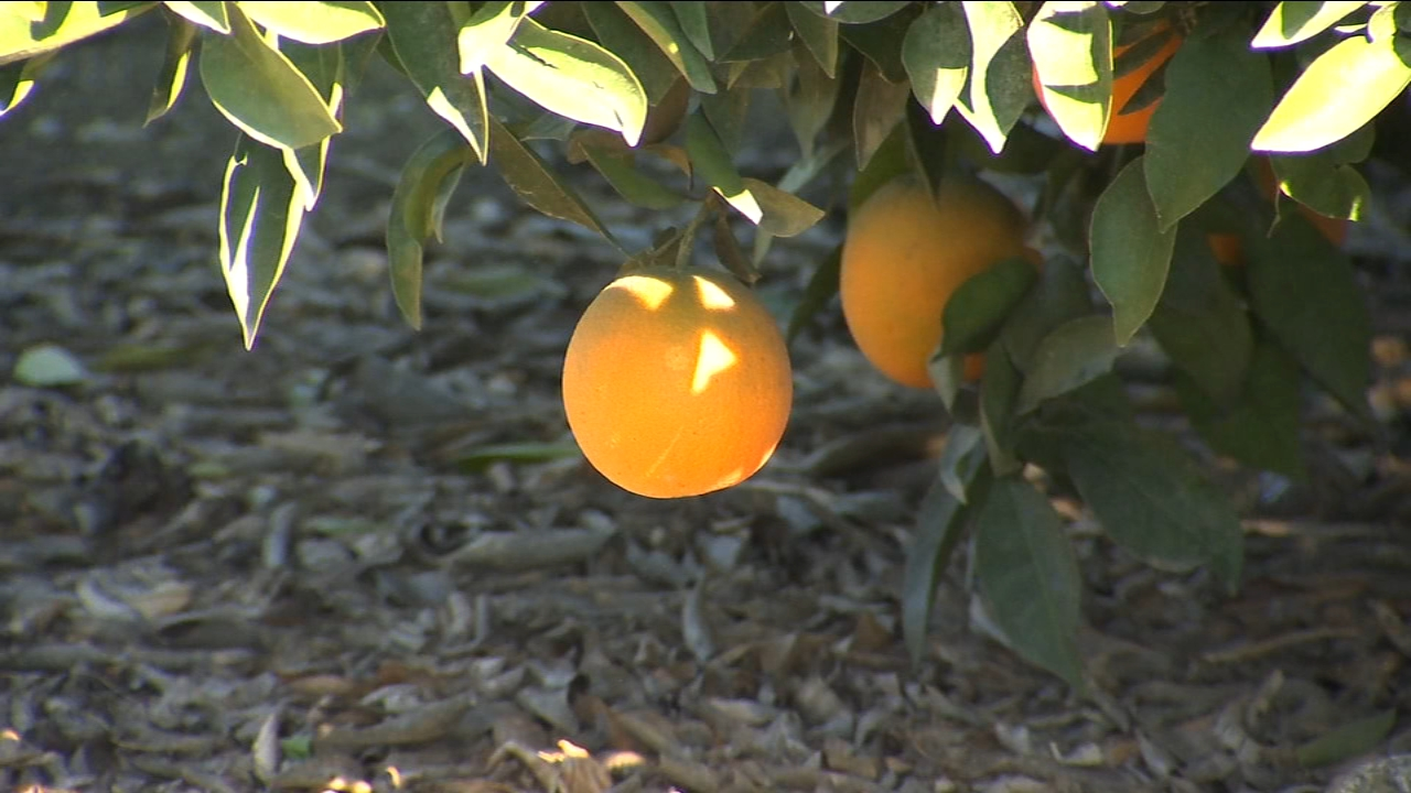 A freeze warning was issued, and some growers utilized different methods to keep their citrus from being damaged.