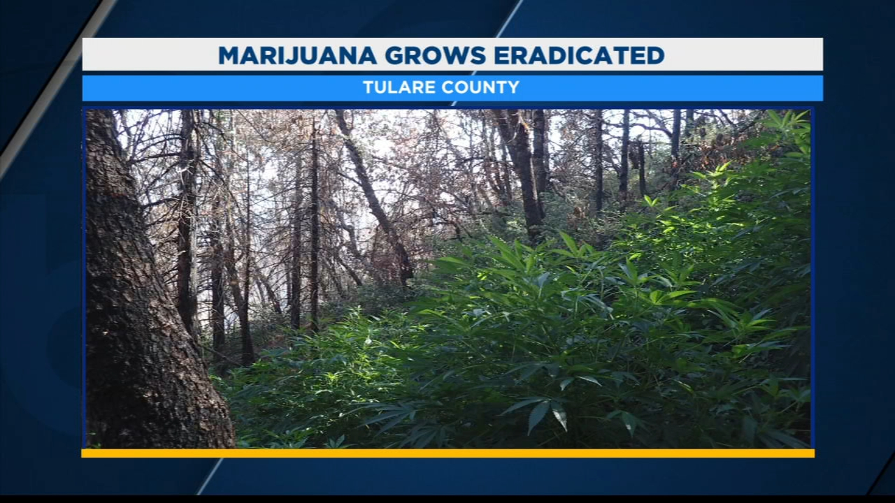 Tulare County detectives have seized more than 10,000 marijuana plants in the Springville area.