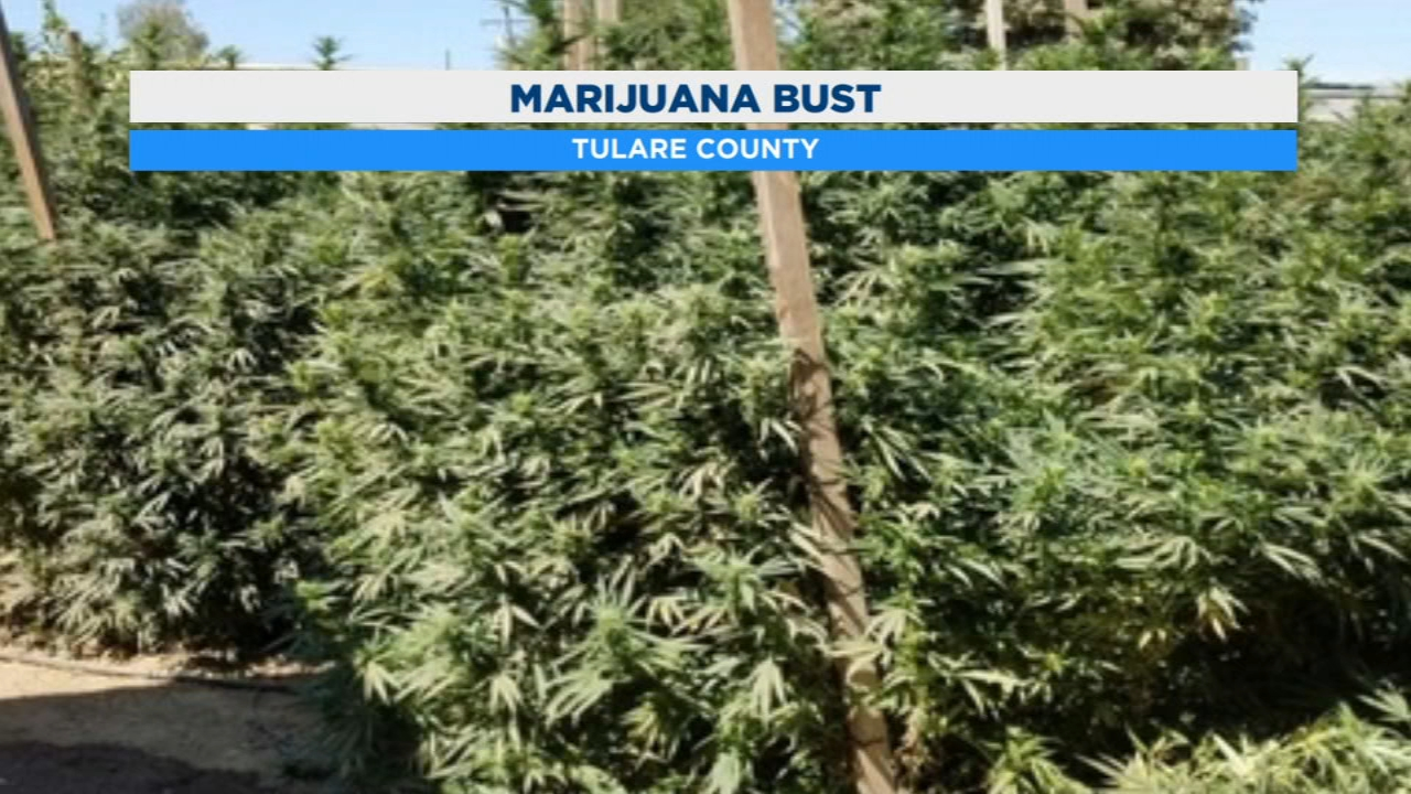 Nearly 2,000 marijuana plants have been eradicated by Tulare County Sheriffs Deputies.