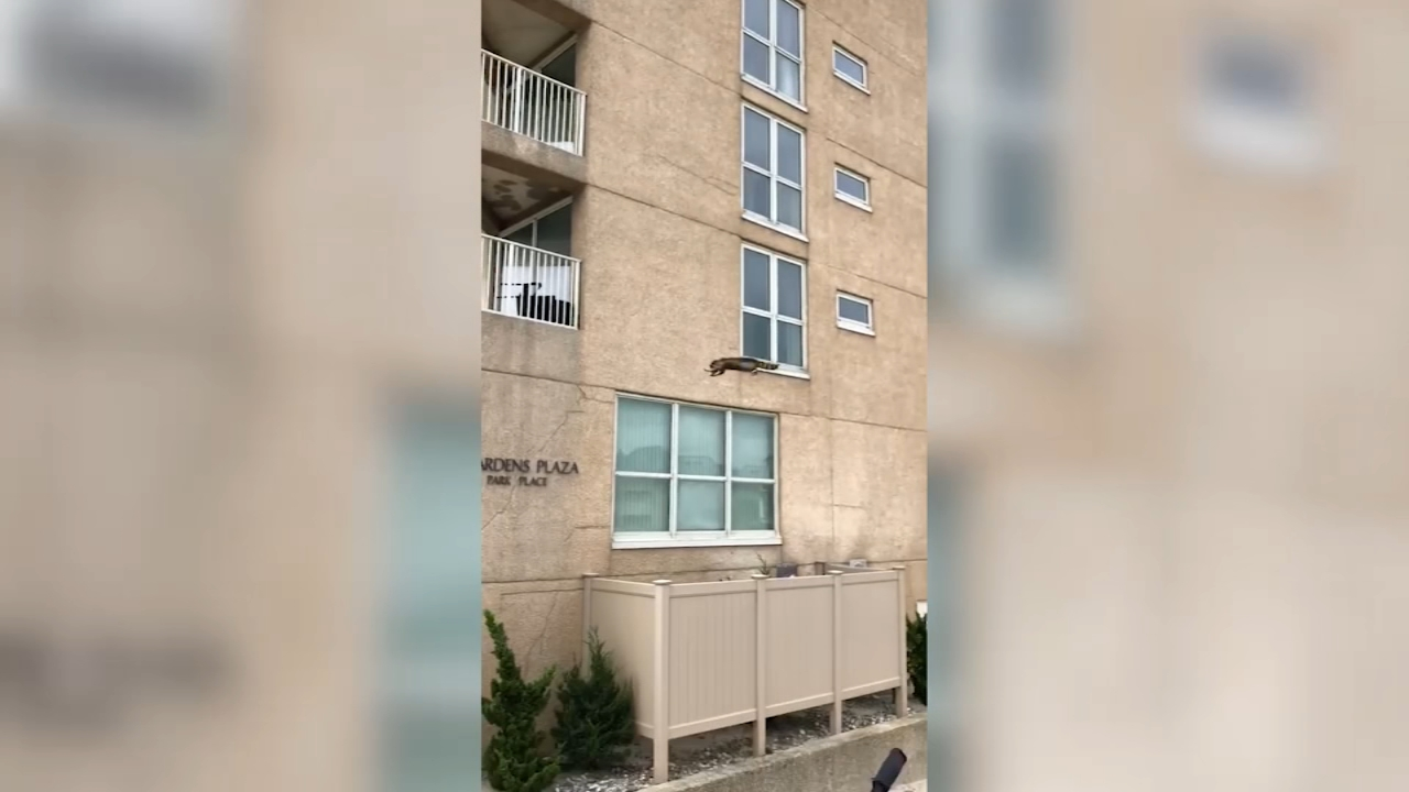 A raccoon fell nine stories when it tried to scale a building in Ocean City, New Jersey.