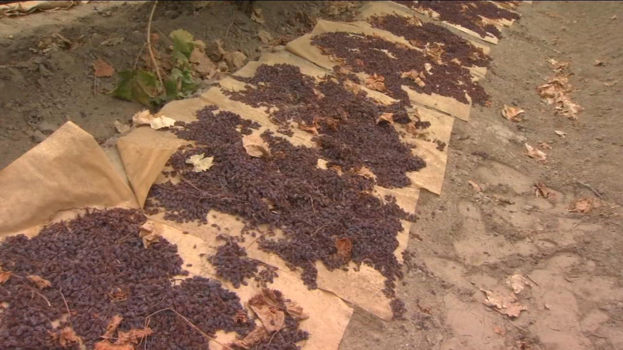 Rain is affecting raisins