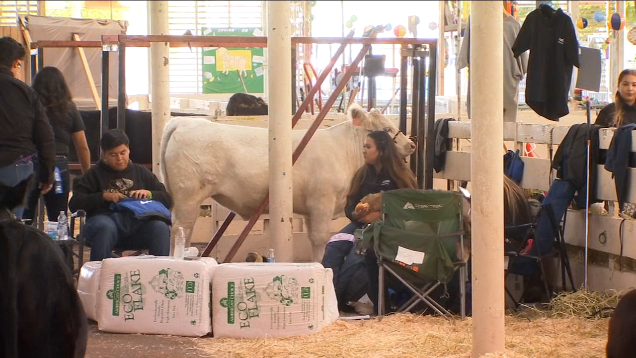 FFA Students at Big Fresno Fair prepare animals for show and auction this weekend.