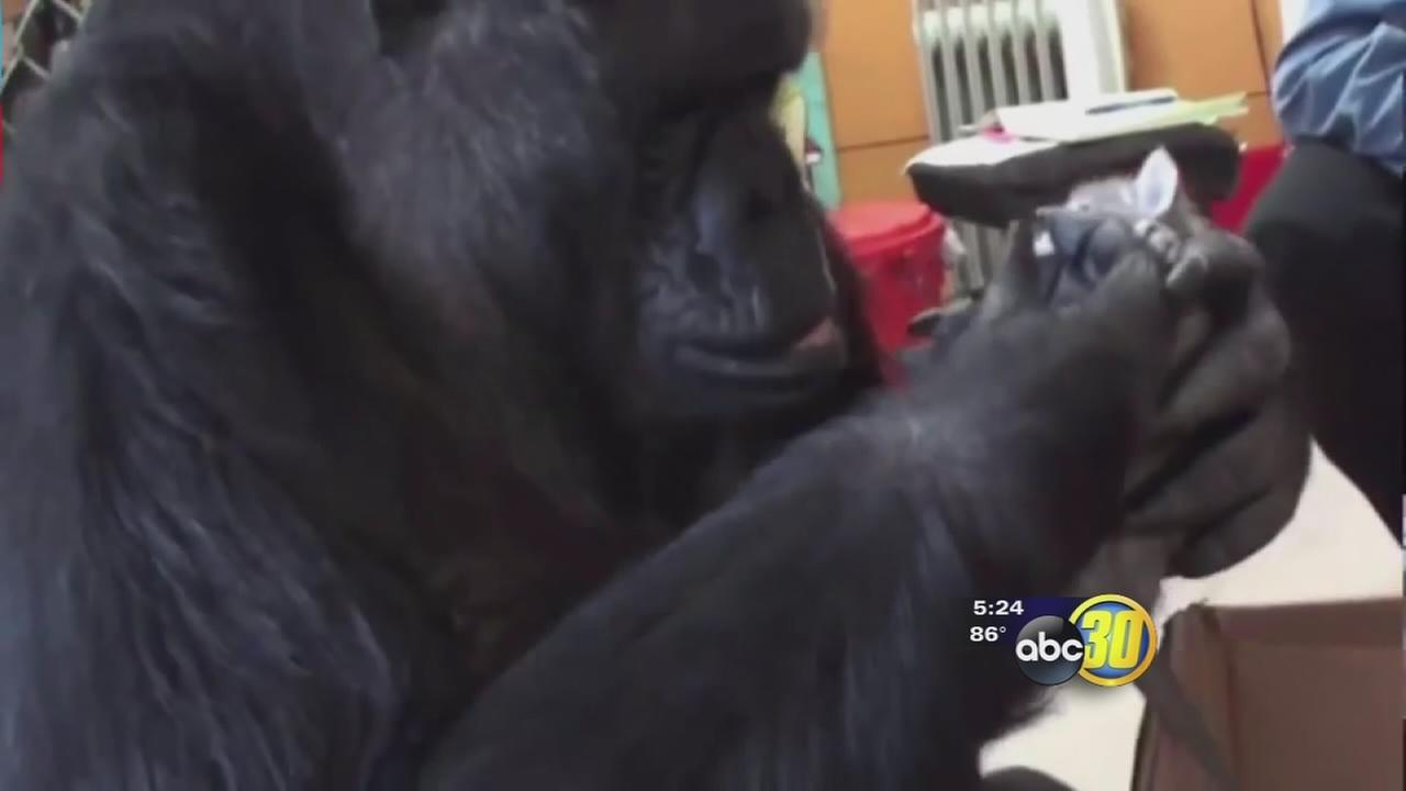 Koko the gorilla turned 44 and was given a purr-fect surprise