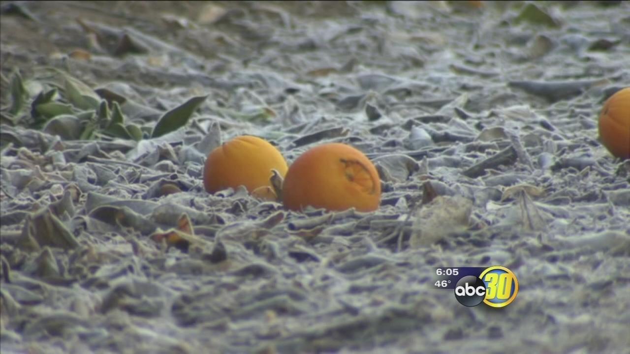 Below Freezing temperatures have citrus growers on edge