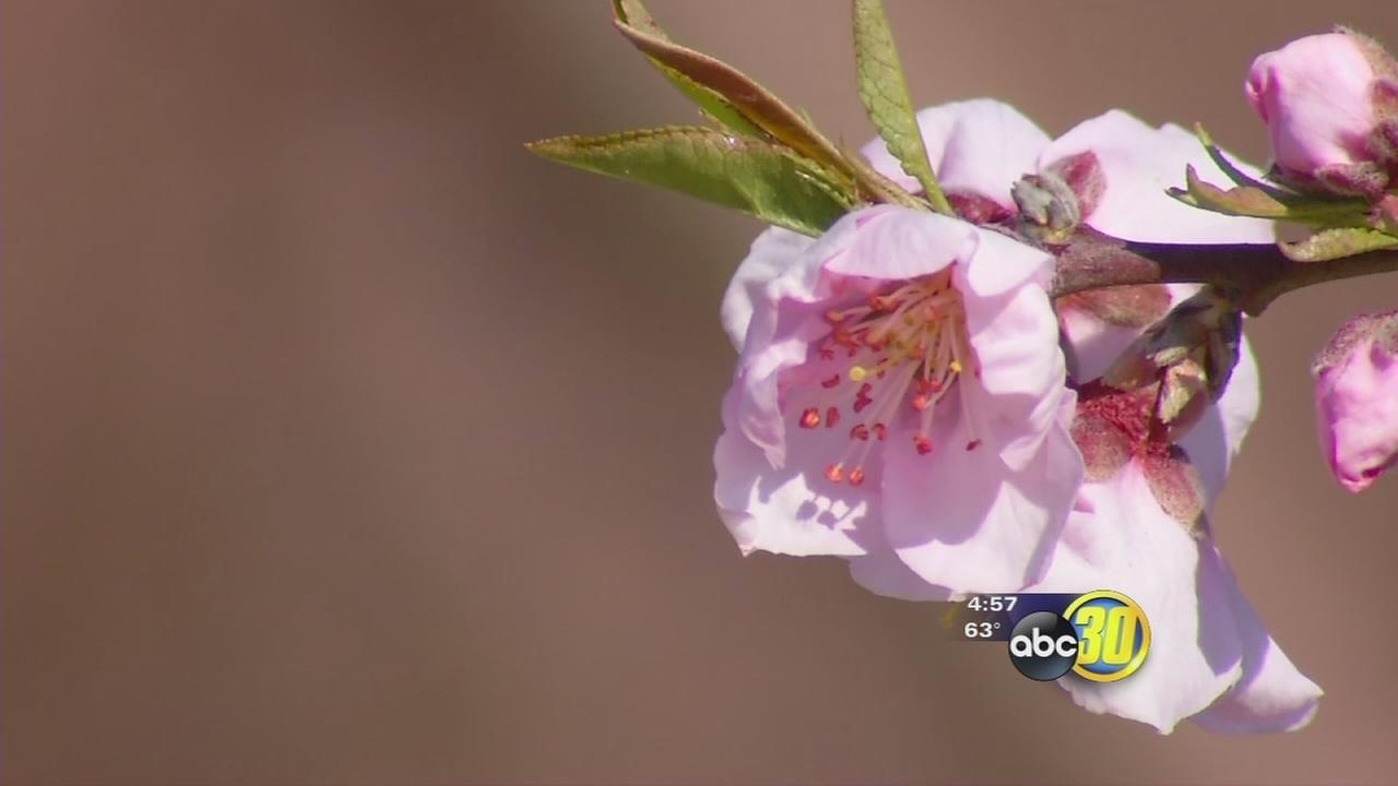 Fresno County blossom trail ready to pop