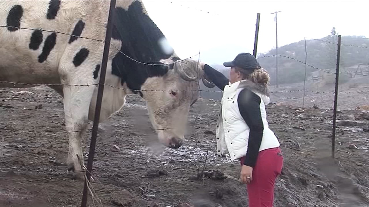 A video of a giant cow in Australia made headlines but theres a steer just as big in California.