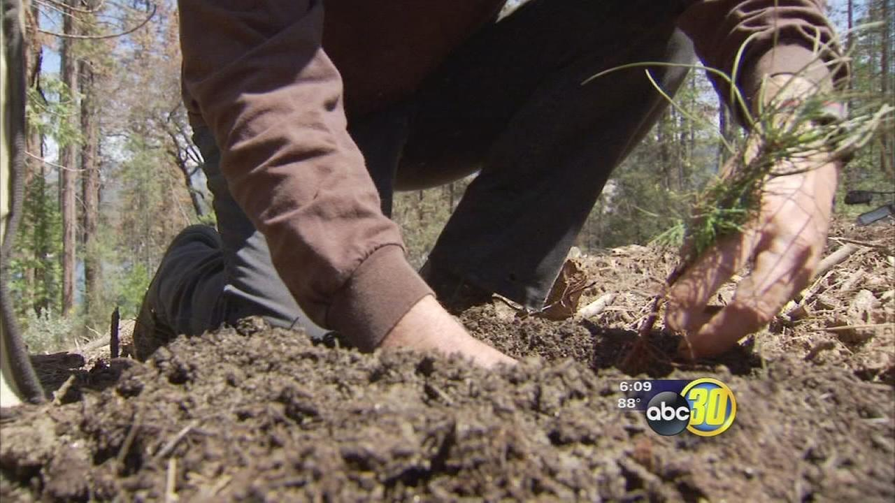 Foresters planting new life in the Sierra National Forest