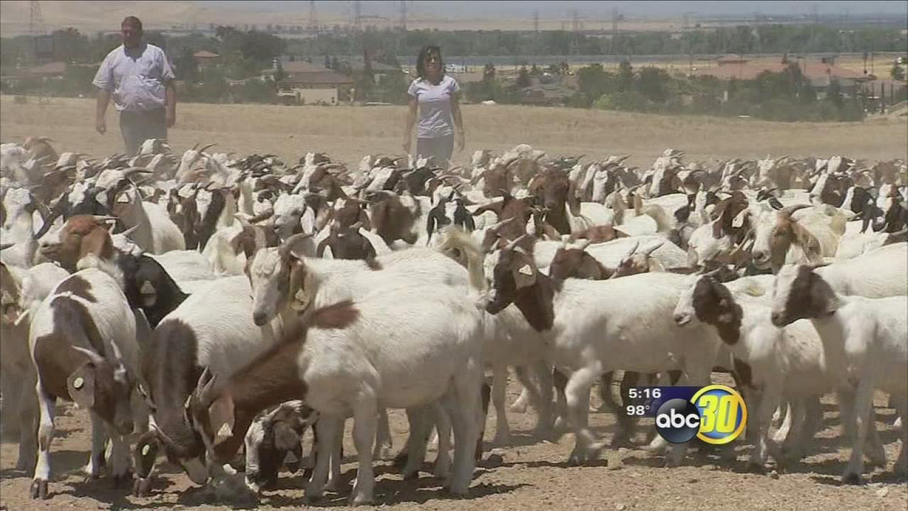 Goats being recruited to help prevent wildfires