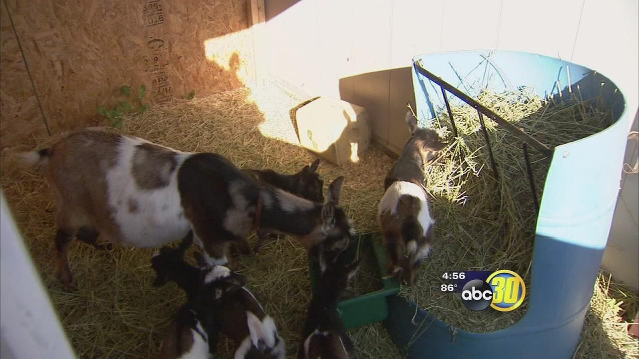 Madera County couple tying a Guinness World Record after their Nigerian Dwarf Goat gave birth