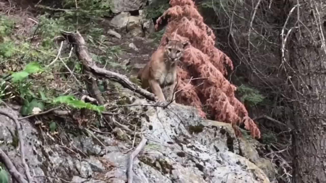 Sequoia National Park hikers capture terrifying encounter with mountain lion on video