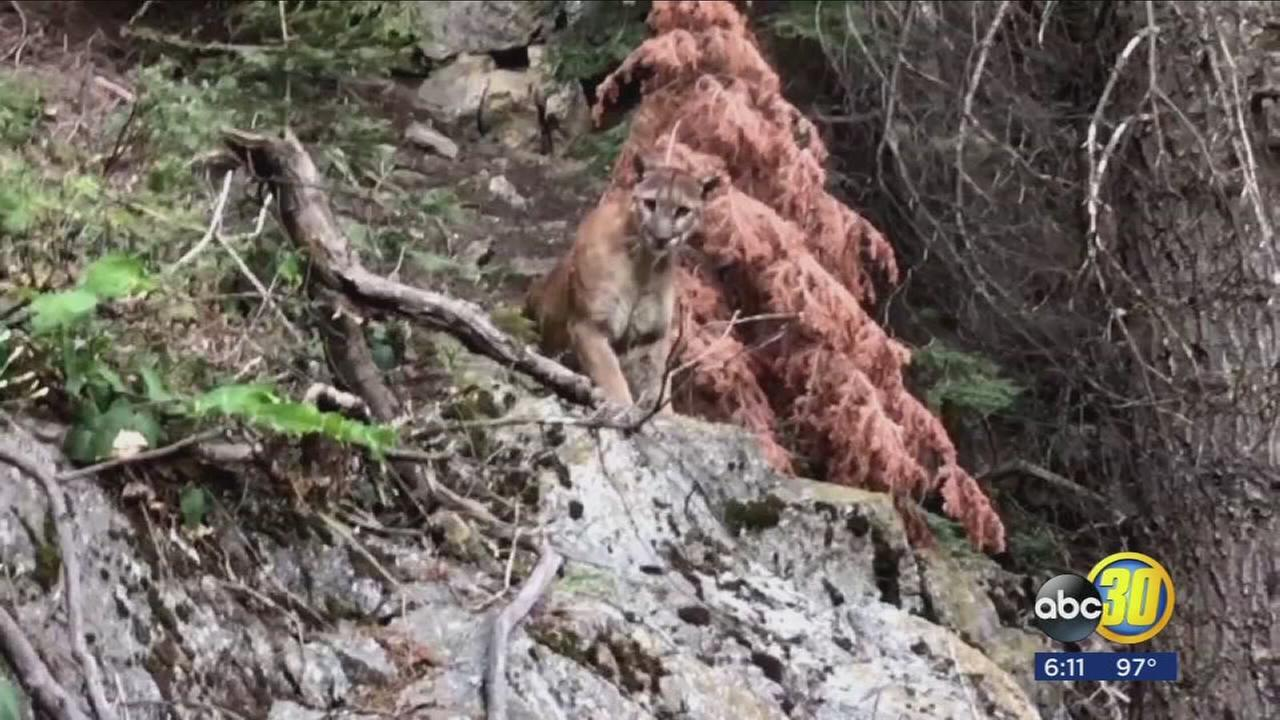 Hiker talks about encounter with mountain lion caught on video