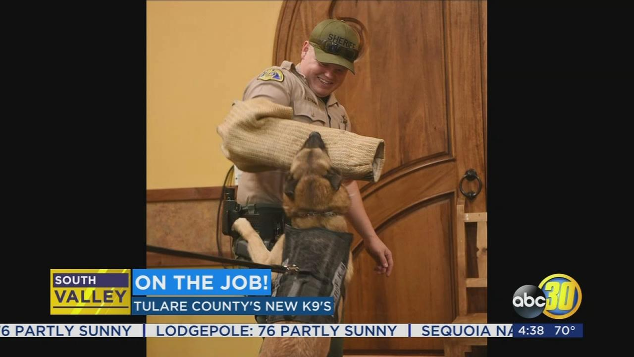 Tulare Countys newest K-9 officer is on the job