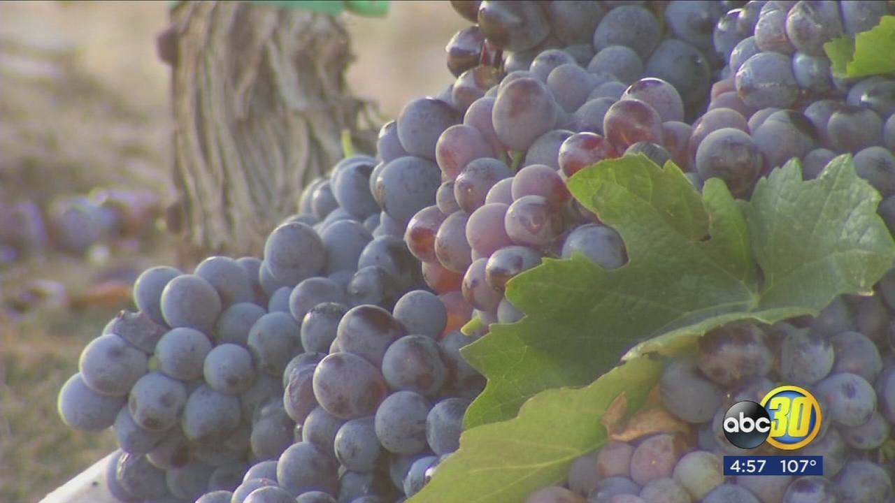 082817-kfsn-4pm-wine-harvest-vid