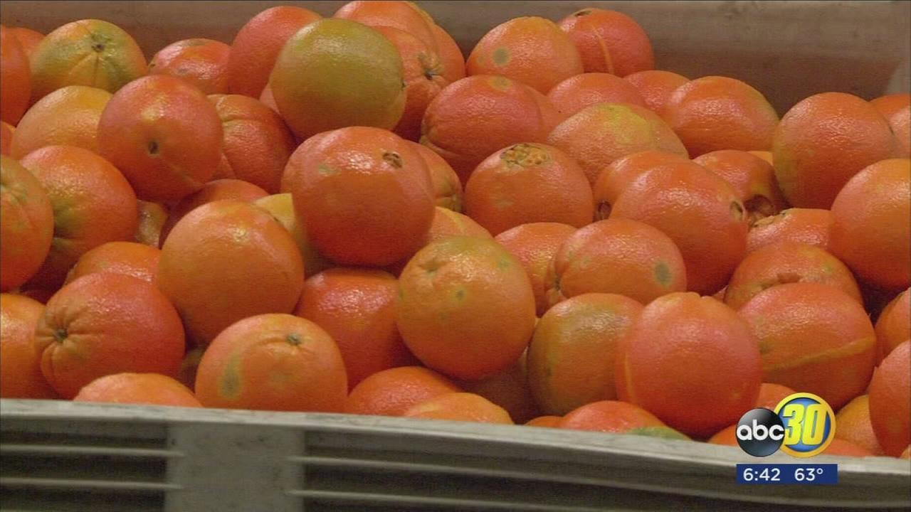 Valleys navel orange season harvest underway