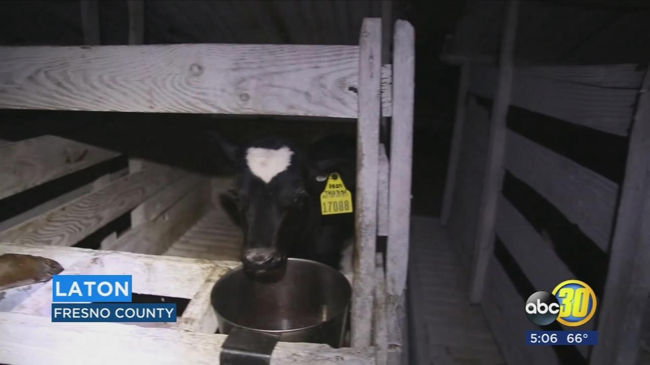 Animal rights group protest outside of a Valley Dairy, says calves are abused