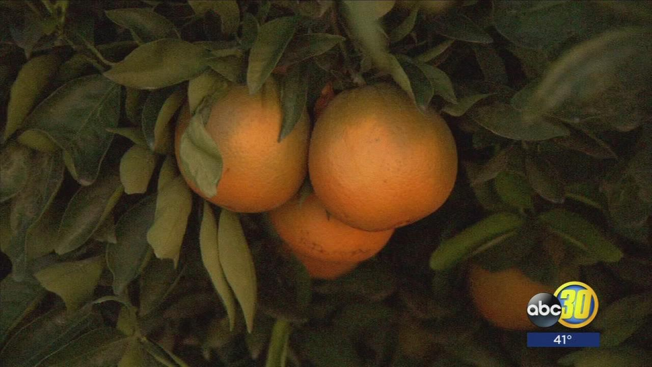 Cold temperatures in the Valley have citrus growers on high alert