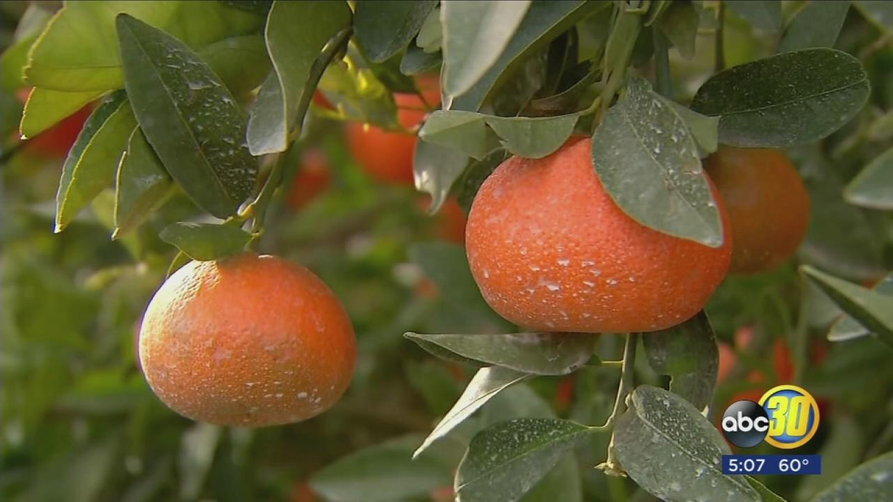 Valley citrus farmers predicting a good year