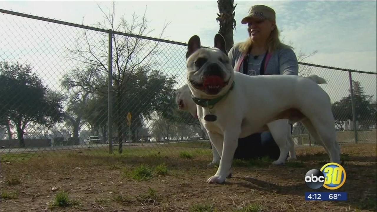 South Valley woman reunited with stolen therapy French Bulldog