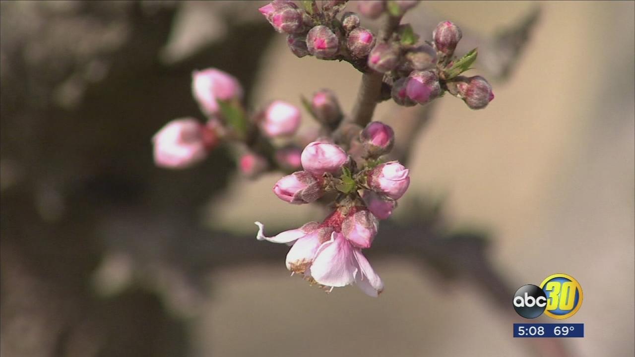 020218-kfsn-5pm-blossom-trail-vid_1