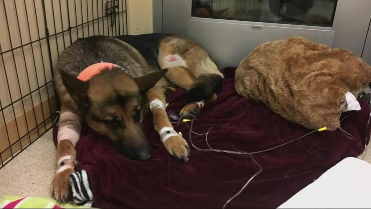 Dog named Rex gets shot 3 times saving teen owners life from burglars in Washington