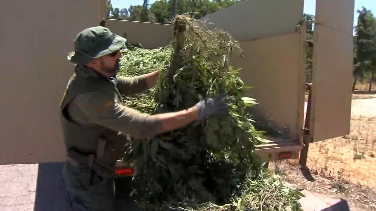 Massive pot grows busted in the North Valley