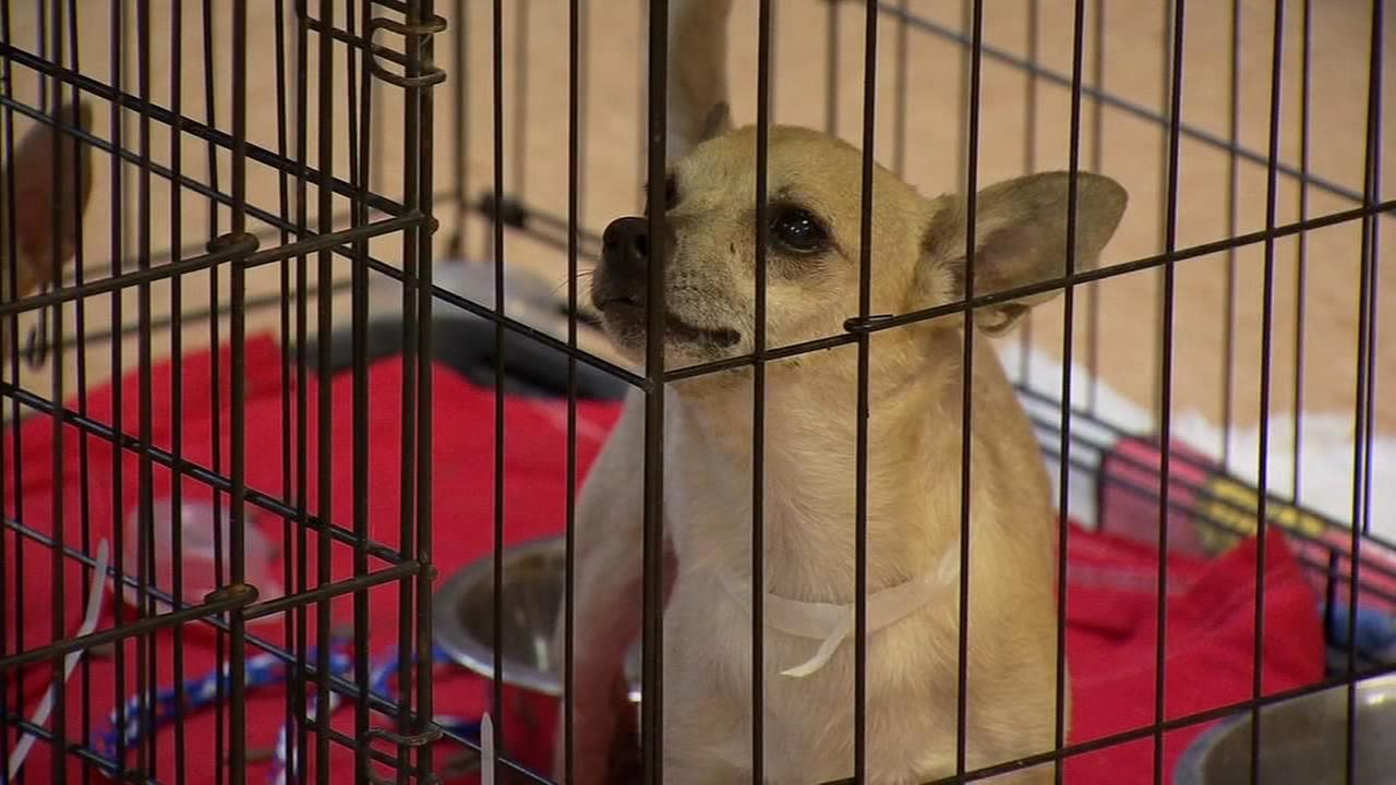 50 Chihuahuas and 5 cats found living in vehicles in 114 degree temps in Coarsegold