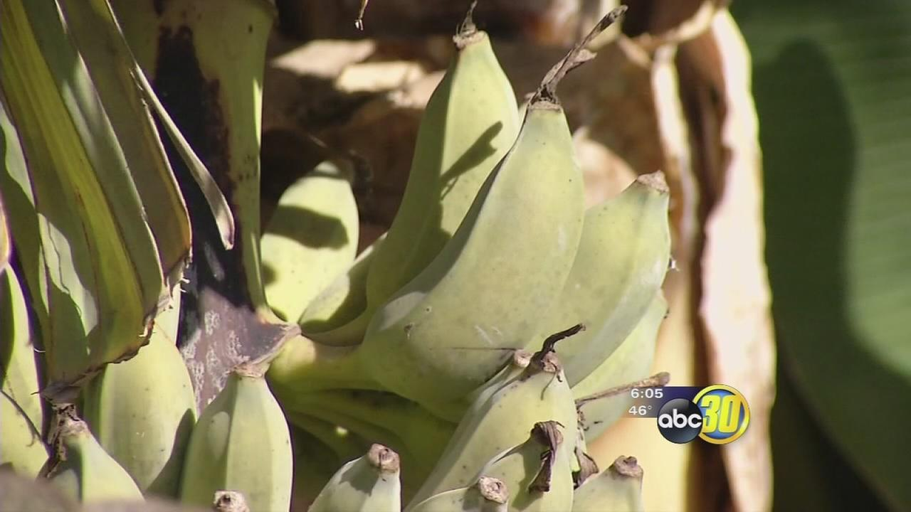 Farmers take steps to protect plants as Valley freezes