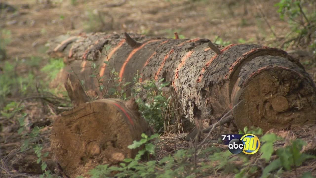 12 million California trees killed by drought, increasing fire danger