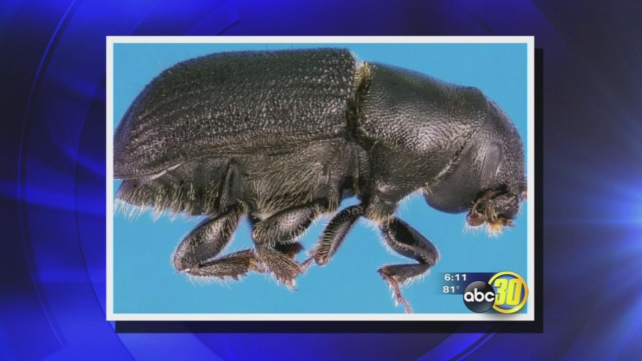 Drought creating perfect conditions for dangerous bark beetle