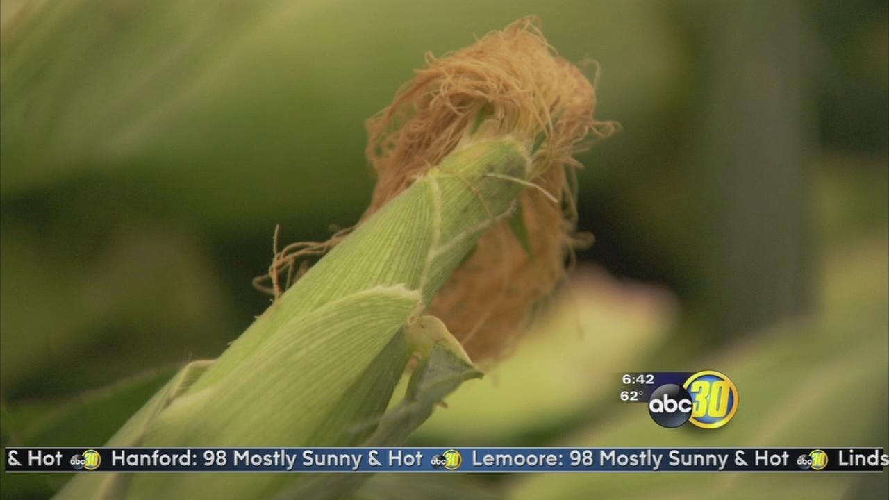 Fresno State Sweet Corn goes on sale