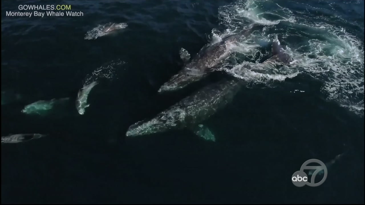 A grey whale and her calf swim in Monterey Bay, Calif.