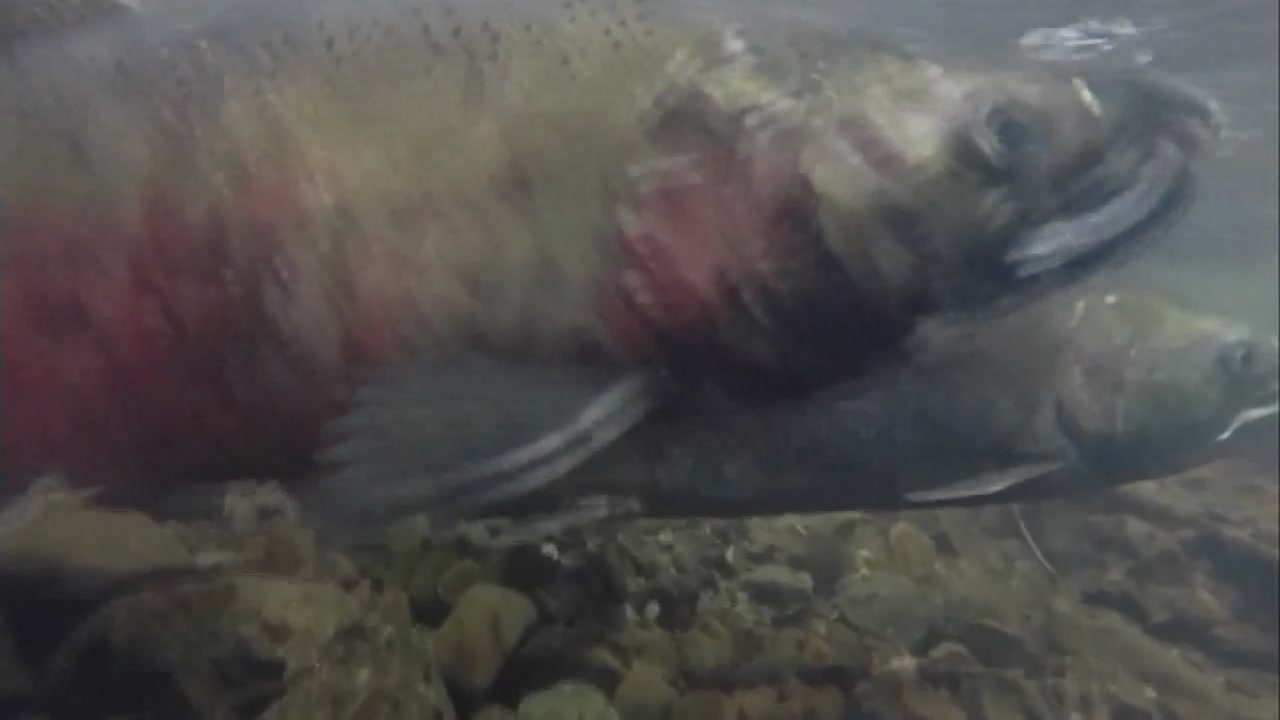 This undated image shows Coho salmon in Lagunitas Creek in Marin County, Calif.