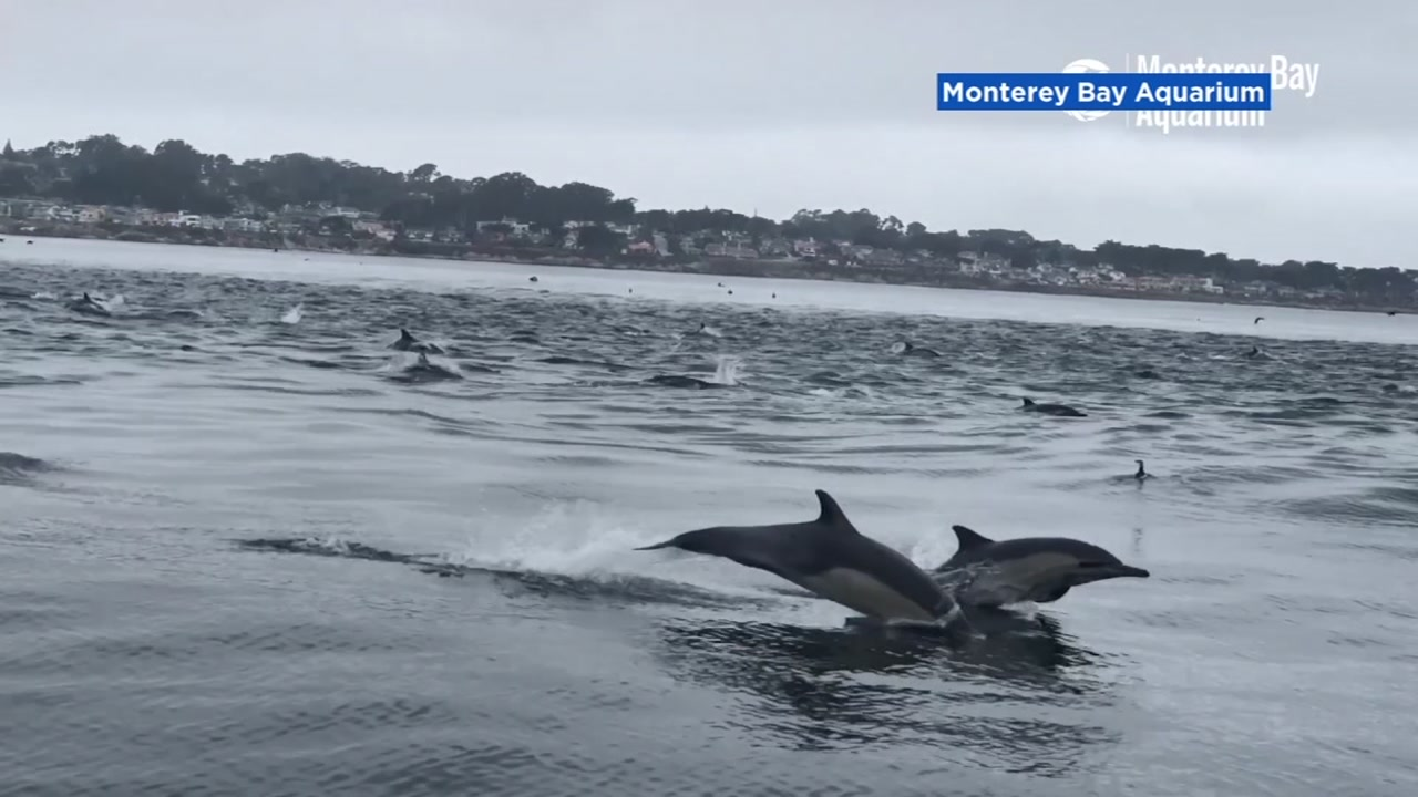 A superpod of common dolphins races along Monterey Bay, Calif., just off of Point Pinos in Pacific Grove on Sept. 3, 2018.
