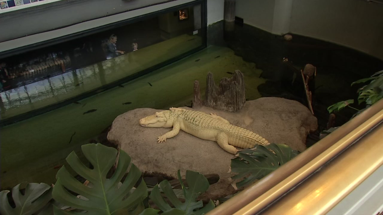 Claude the albino alligator is pictured in his habitat at California Academy of Sciences in San Franciscos Golden Gate Park.