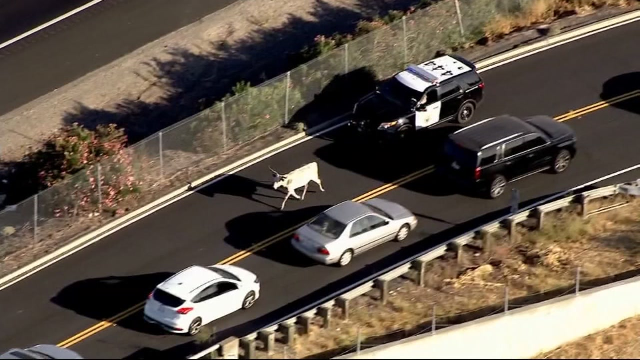 A cow led the California Highway Patrol on a chase near Stockton, Calif., on Sept. 28, 2018.