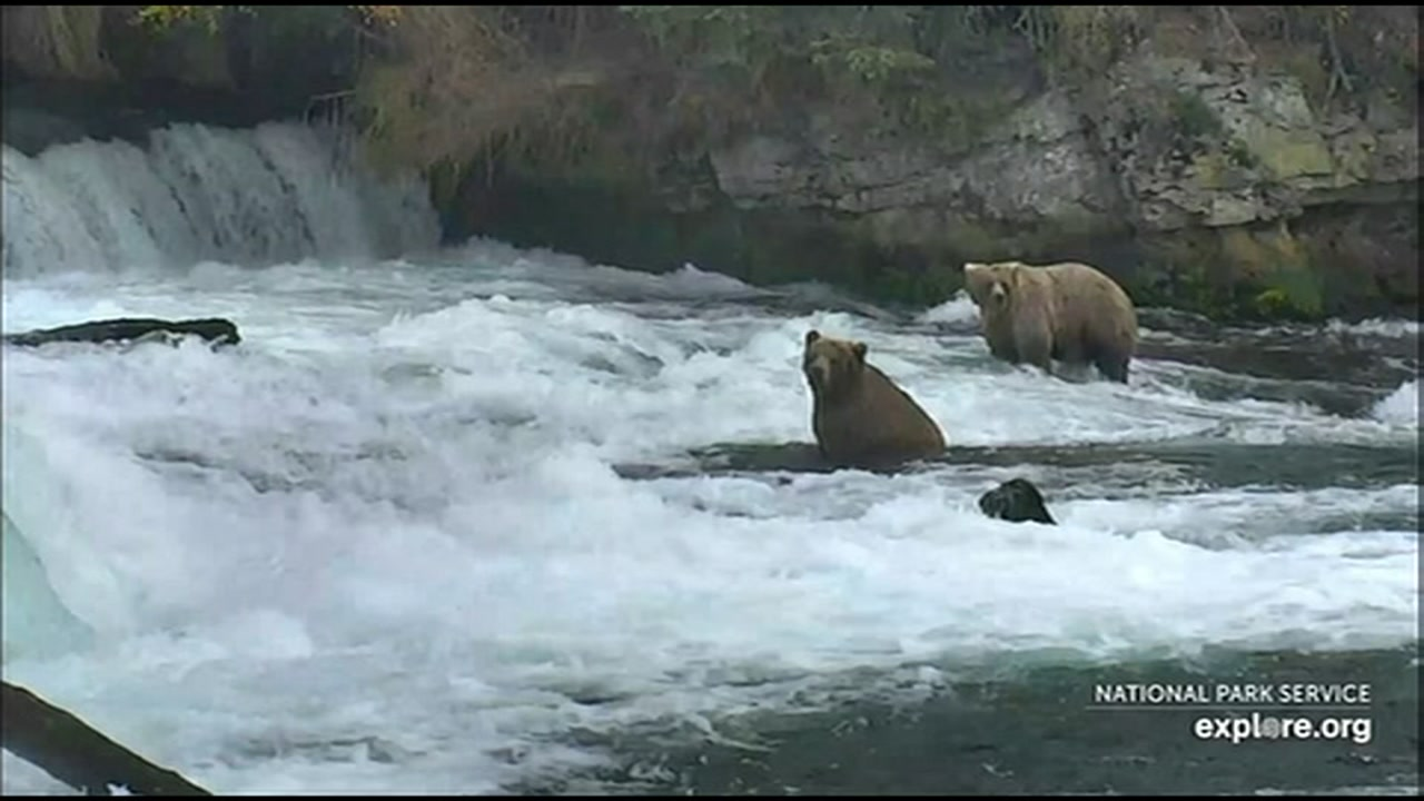 Bears are seen in their natural habitat in Katmai National Park in Alaska in this undated image.