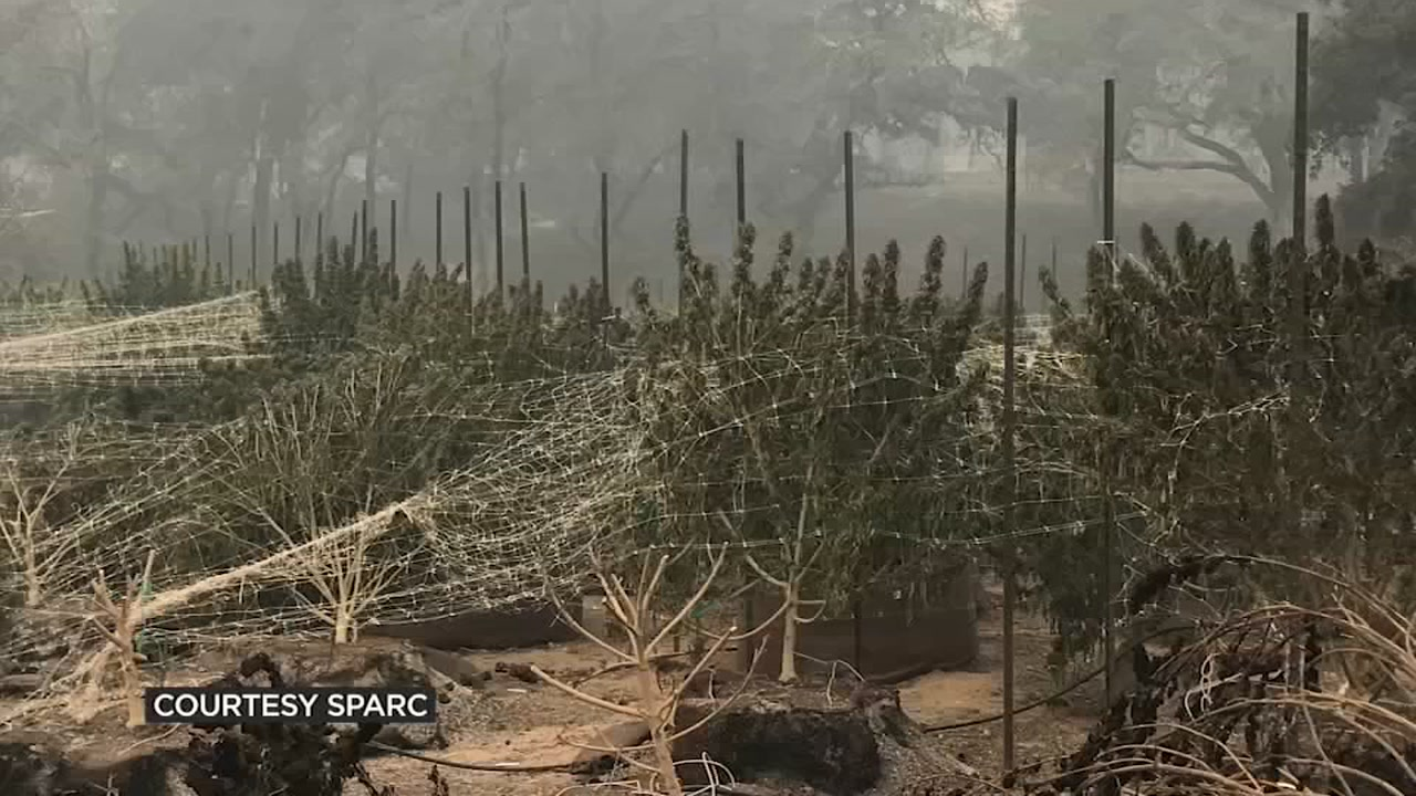 This photo provided by SPARC shows the devastation after the Nuns Fire tore through its cannabis farm in Glen Ellen, Calif. in Oct. 2017.