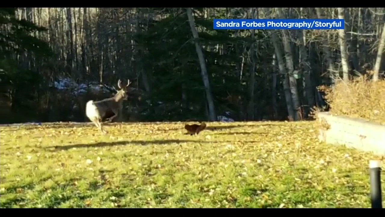 Cat defends home from 2 deer