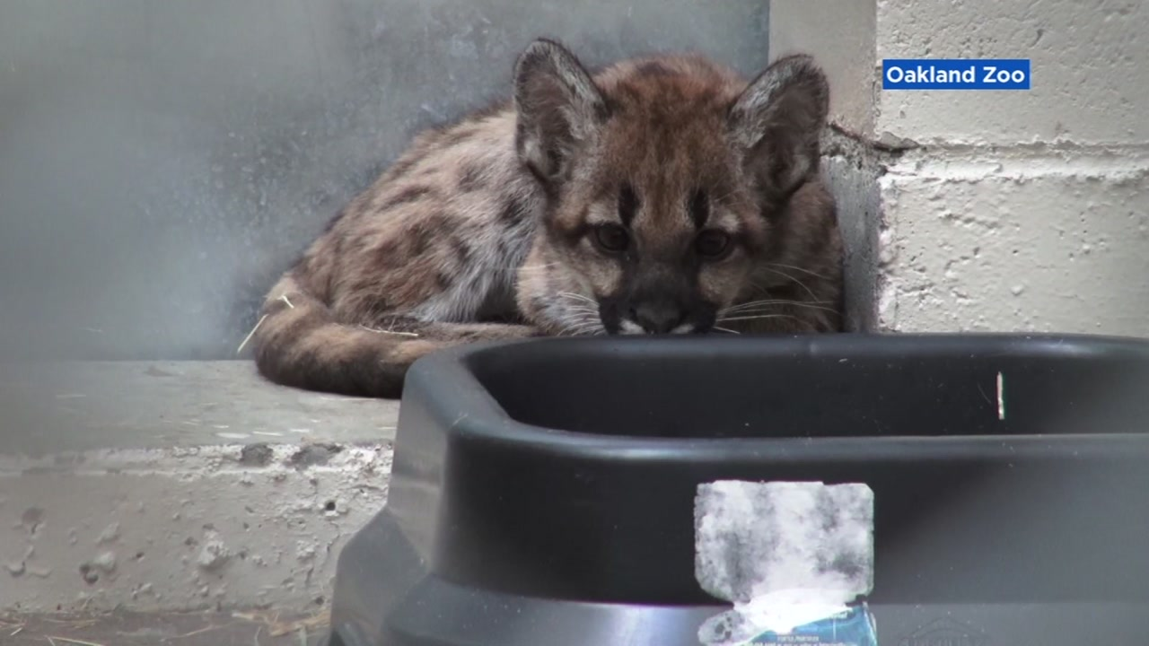 The Oakland Zoo is caring for two adorable mountain lion cubs. California Department of Fish and Wildlife rescued both of the orphaned animals.