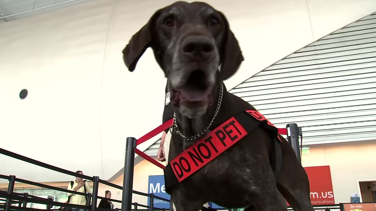 A bomb sniffing dog is on duty at Mineta San Jose Airport on Thursday, Oct. 25, 2018.