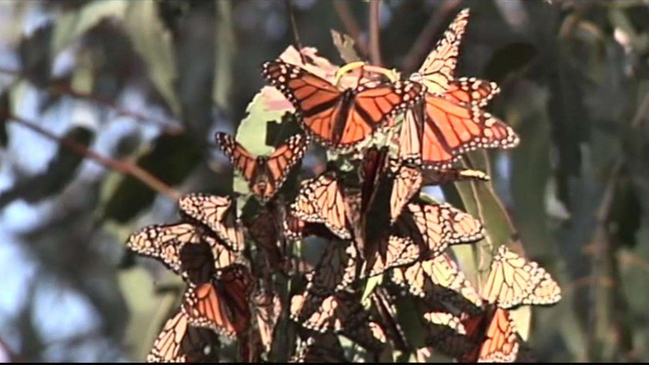 Monarch butterflies - (FILE)
