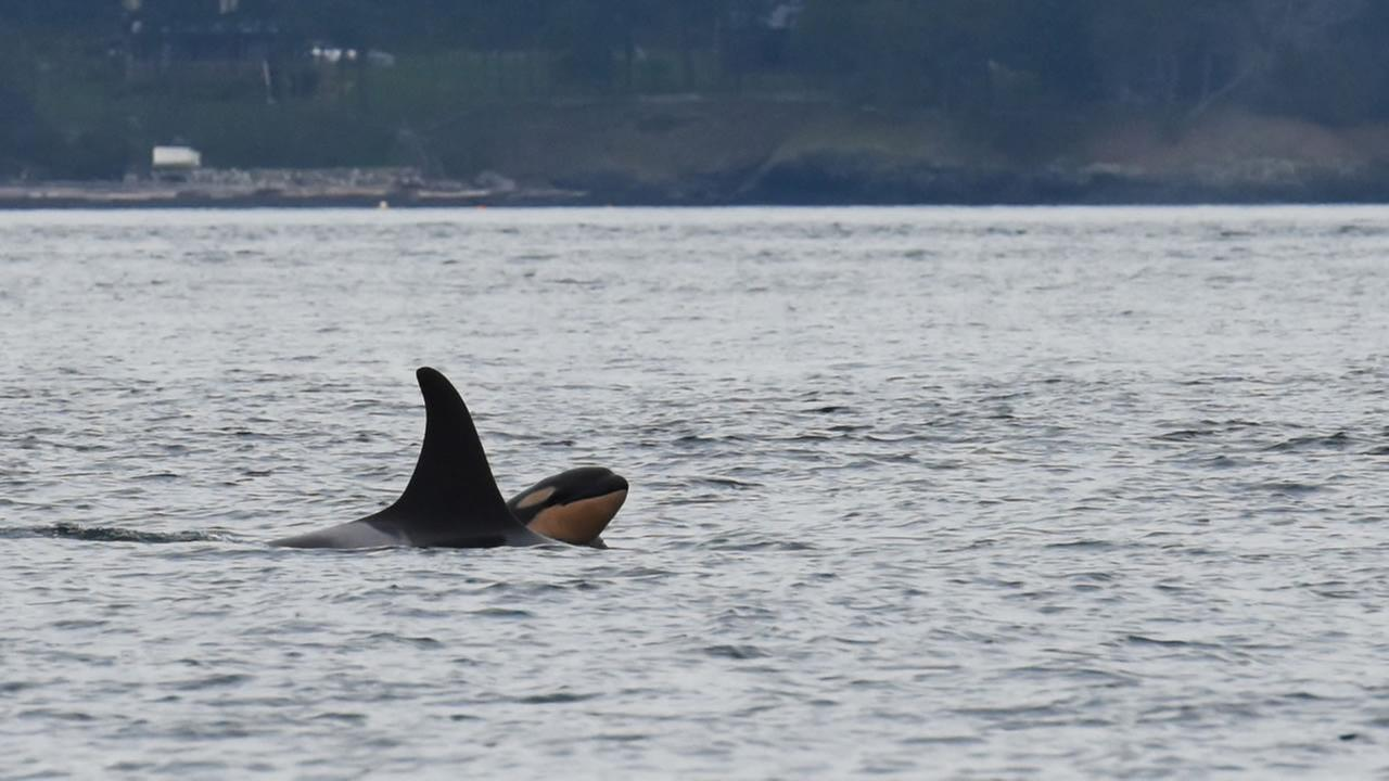 Newborn orca calf J53 is seen with its mother J17 off San Juan Island, Wash., on Saturday, Oct. 24, 2015.
