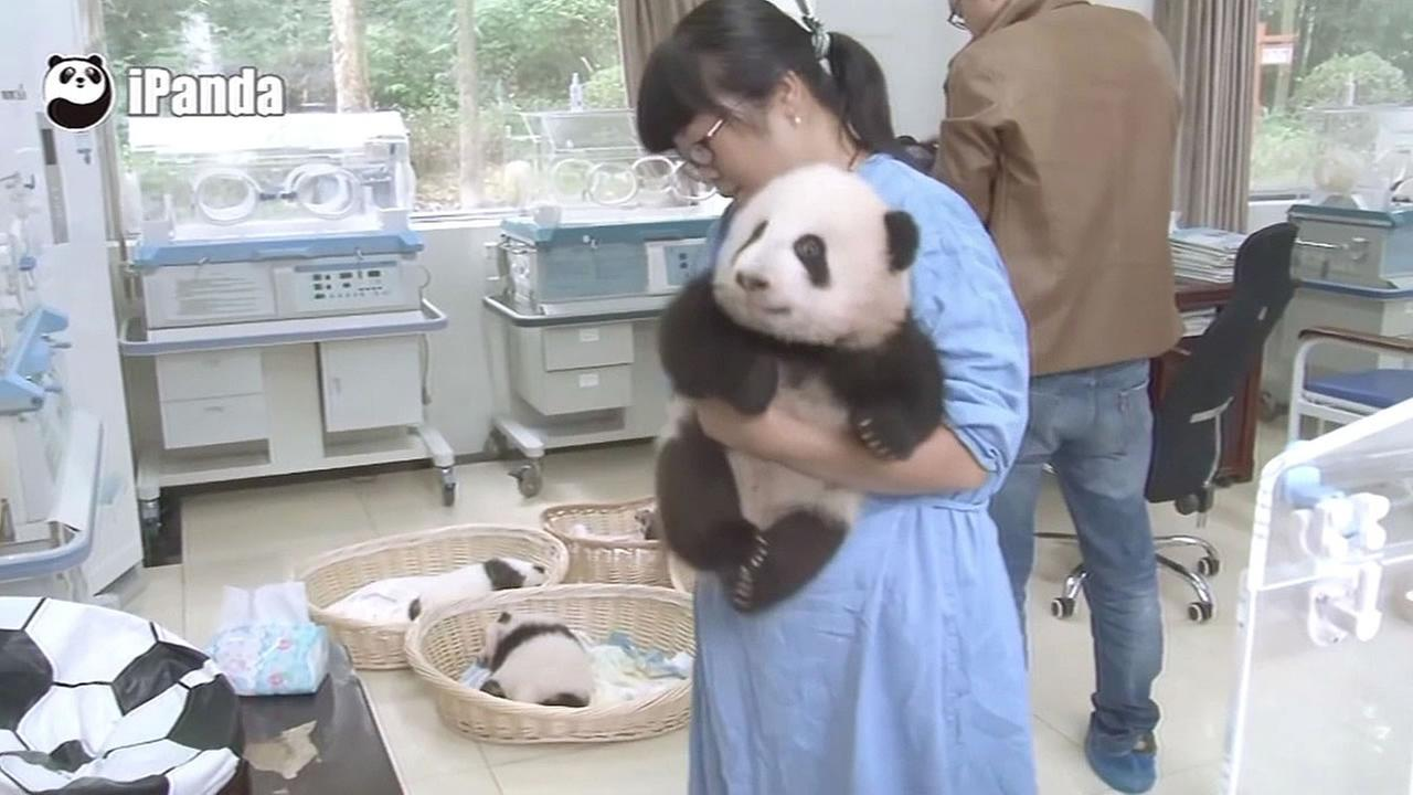 FILE - A woman taking care of a panda baby at at Chinas Giant Panda Protection and Research Center is seen in this undated image.