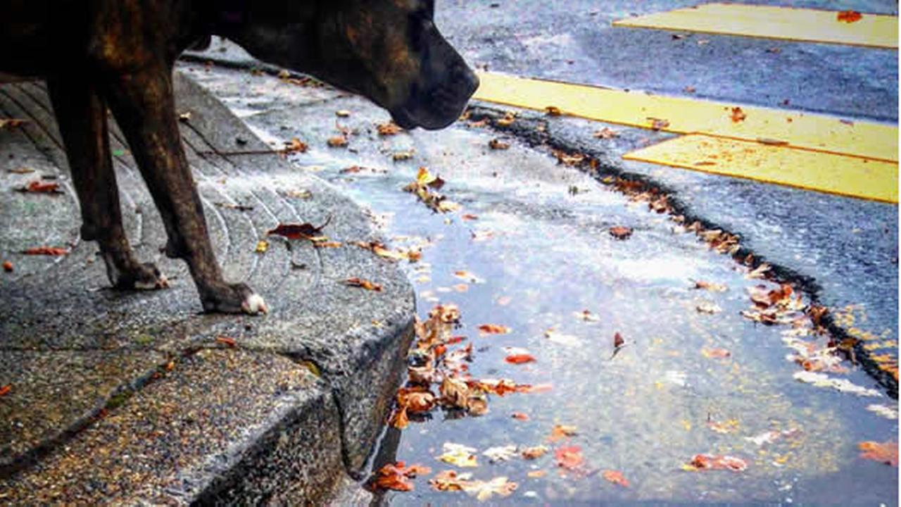 In this image, a dog is seen looking at a puddle left behind by a storm that rolled through the Bay Area on Monday, November 2, 2015.
