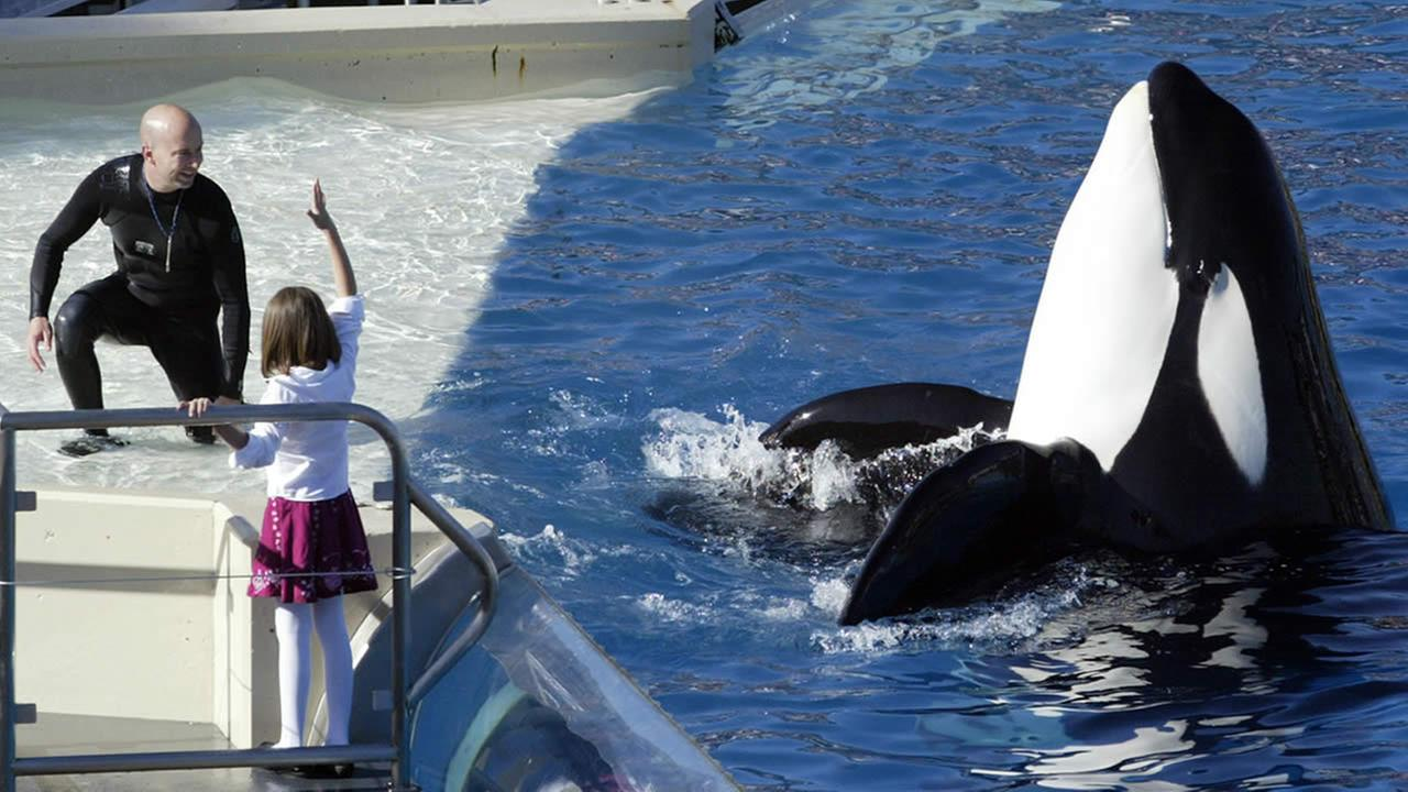 SeaWorld Adventure Park trainer Ken Peters, left, looks to a killer whale during a performance Nov. 26, 2006 at Shamu Stadium inside the park in San Diego. (AP Photo/Bizuayehu Tesfaye)