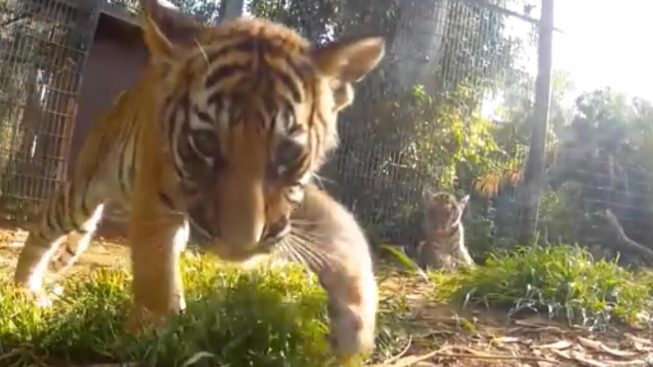 A GoPro strapped to a remote controlled car is giving visitors a thrilling look at four adorable Malayan tiger cubs at the Fresno Chaffee Zoo.