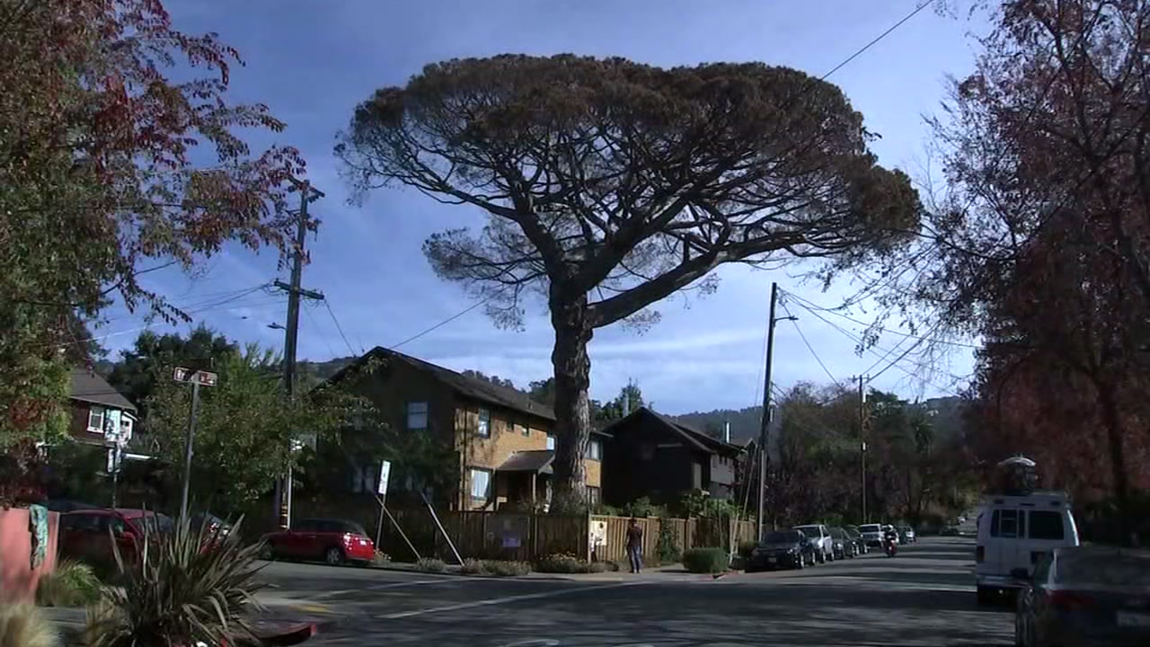 A tree thats believed to be 125-years-old is seen in Berkeley, Calif. on Sunday, Nov. 4, 2018.
