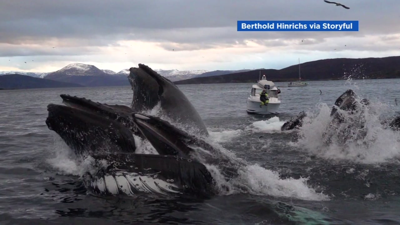 A pod of Humpback whales put on quite a show in Norway.